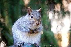 Eastern Gray Squirrel (--Anne--) Tags: squirrel easterngraysquirrel gray animal animals cute wildlife nature