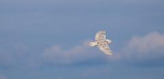 Snowy owl - New York State (superpugger) Tags: snowyowl snowyowls owl owls birds irruption buboscandiacus arcticwildlife migration wildlifeofnewyorkstate newyorkstatewildlife arctic winterwildlife winterbirds winter winteriscoming