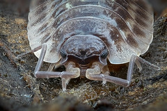Portrt einer Mauerassel (Oniscus asellus) (AchimOWL) Tags: blatt laub panasonic limix stack postfocus assel makro macro insekt insekten natur gx80 raynox wildlife tier outdoor ngc makrodreams dmcgx80