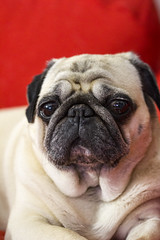 Pug_Face (Brother's Art) Tags: animal beige cute dog looking mammal portrait pug puppy sitting adorable background breed canine doggy domestic funny happy isolated one pedigree pet pugs pup purebred sad small tongue young