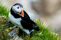 Puffin (Steve Moore-Vale) Tags: atlanticpuffin bemptoncliffs birds england florafauna fotobuzz fraterculaarctica perched places rspb unitedkingdom wildlife yorkshire