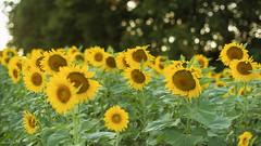 The Sunflowers and the Tree Line (Radical Retinoscopy) Tags: sunflower sunflowers bokeh backlit field tree fujichrome velvia100f transparency slide minoltasrt101 minoltarokkor minolta58mmf12 film analog analogphotography