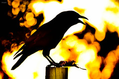 Crow (Sean Peck) Tags: evergladesnational park evergladesnp crow corvid