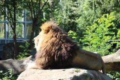 Lwe_1 (@ FS Images) Tags: lwe langemhne liegend rudelfhrer aufstein canon eos 600d outdoor landschaft natur raubkatzen zoo tiere stein sonne mnchen hellabrunn