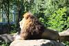 Löwe_1 (@ FS Images) Tags: löwe langemähne liegend rudelführer aufstein canon eos 600d outdoor landschaft natur raubkatzen zoo tiere stein sonne münchen hellabrunn