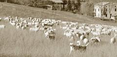 (B Plessi) Tags: macerata italia colline monti azzuri pecore cane pastori cani dog sheep mouton berger shepard marche 2016 troupeau gregge