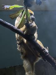 Cleveland Metroparks Zoo 06-05-2014 - Black Howler Monkey 3 (David441491) Tags: clevelandmetroparkszoo blackhowlermonkey monkey baby