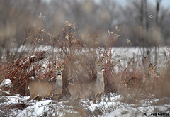 f_L5H_9588 (lechgawu) Tags: nature wildlife roedeer