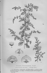 Cabbage Bush - New South Wales, The Mother Colony 1896 (AndyBrii) Tags: nsw newsouthwales 1896 frankhutchinson sydney