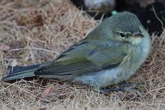 Young Bird (Hugo von Schreck) Tags: hugovonschreck canoneos5dmarkiii bird vogel tier outdoor tamronspaf180mmf35dildifmacro11