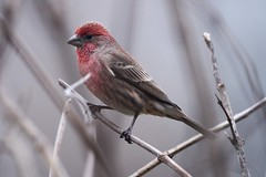 Red Headed Sparrow (R. Murphy Photography) Tags: red headed sparrow nikon d600 telephoto bird nature wildlife