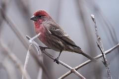 Red Headed Sparrow (R. Murphy Photography) Tags: red headed sparrow nikon d600 telephoto bird nature wildlife