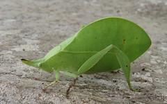 unknown katydid (Birdernaturalist) Tags: chiapas gbna katydid mexico orthoptera richhoyer tettigoniidae