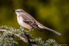 The ubiquitous Northern Mockingbird (danielusescanon) Tags: lakeartemisia maryland wild perched northernmockingbird mimuspolyglottos passeriformes mimidae birdperfect animalplanet