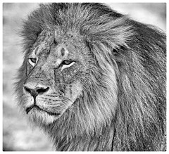 Cecil the Lion - in black & white (paulafrenchp) Tags: