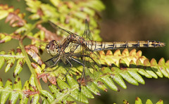 Common Darter (Barry's) (Explored) (Barry & Carole Bowden) Tags: