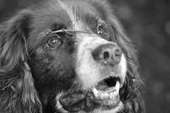 Phoebe (heathernewman) Tags: dog pet white black animal closeup canine spaniel springer springerspaniel