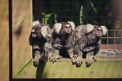Ouistiti à toupet (N'Grid) Tags: pet animal zoo monkey singe ouistiti marmotset