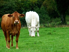 Vollkommen klar: Milch und Kakao - Perfectly Clear: Milk and Cocoa (GuteFee) Tags: animals tiere cows khe
