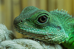 kamakazi the chinese water dragon (Lurntwubber) Tags: bw macro green eye water canon dragon reptile tail 100mm yemen gecko chameleon crested f28 100400mm 24105mm