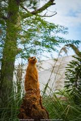 The sentry (Michael Seeley) Tags: lauren zoo meerkat florida melbourne rhino jenn giraffe macaw brevardzoo mikeseeley michaelseeley