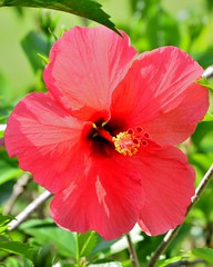 F6K_5444 (68photobug) Tags: pink flowers blue usa nikon florida hibiscus tropical bloom nikkor lakeland 28300mm polkcounty outmybackdoor d7000 68photobug