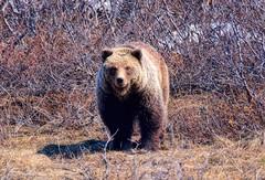 Grizzly Bear - Alaska/Yukon (JLS Photography - Alaska) Tags: bear animal animals alaska landscape outdoor bears grizzly brownbear grizzlybear lastfrontier jlsphotographyalaska