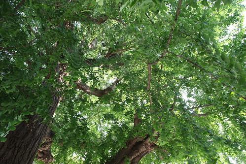 大きなイチョウの木