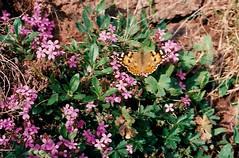 Distelfalter-Sdt-98-Seisser Alm6 (1) (thobern1) Tags: butterfly papillon schmetterling distelfalter