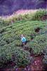 N'Eliya (Rebel Photo Man) Tags: srilanka nuwaraeliya teapicker
