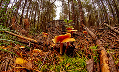 Autumn in the forest / Herbst im Wald (CB-Photos) Tags: autumn brown green nature mushroom forest gold golden sony fisheye alpha 8mm wald slt pilz a58 walimey