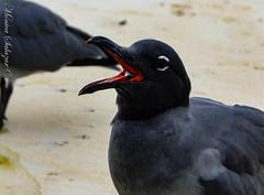 Galapagos Lava Gull - Gaviota de lava de Galápagos (Mónica Salazar) Tags: bird birds lava gull galapagos ave gaviota lavagull