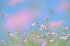 Kasukabe002 (Kosei.S) Tags: flower japan landscape japanese nikon asia saitama cosmos d800 kasukabe