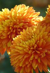 Chrysanthemum 'Indian Summer' (wundoroo) Tags: november flowers autumn orange newyork fall bronx mum chrysanthemum nybg kiku newyorkbotanicalgarden