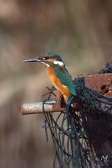 Martin pescatore (mac89cam) Tags: blue bird net nature animal electric martin outdoor blu natura kingfisher pescatore rete elettrico