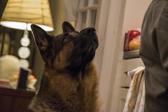 Up (FurtiveOutsider) Tags: dog pet dogs friend shepherd best german chef alsatian alsation helper sous gsd videx