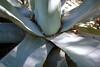 Agave Close-up (alexispadilla) Tags: california travel nature garden berkeley bayarea agave succulents universityofcaliforniabotanicalgardenatberkeley