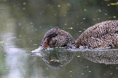 Freckled Duck (Stictonetta naevosa) (LauriusV) Tags: familyanatidae orderanseriformes englishfreckledduck genusstictonetta speciesstictonettanaevosa