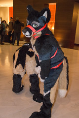 DSC_0048 (Acrufox) Tags: chicago illinois furry midwest december ohare rosemont convention hyatt regency 2014 fursuit furfest fursuiting acrufox mff2014