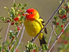 Western Tanager, Piranga ludoviciana (bruce_aird) Tags: