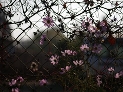 On the morning of Halloween [Explored] (un2112) Tags: morning pink flowers autumn flower fence october g7 explored