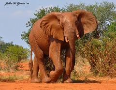 DSC_1609-b Bull Elephant fresh from a red mud bath, Tsavo West, Kenya. (GavinKenya) Tags: africa wild nature animal june john mammal photography gavin photographer kenya african wildlife july grand safari dk naturephotography kenyasafari africansafari 2015 safaris africanwildlife africasafari johngavin wildlifephotography kenyaafrica kenyawildlife dkgrandsafaris africa2015 safari2015 johnhgavin