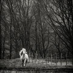 White Dancer (PetterPhoto) Tags: trees horse white silhouette norway fog dancer april kristiansand tveit hamresanden petterphoto pettersandell