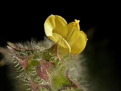 Tetramerium nervosum Nees. (carlos mancilla) Tags: flowers flores macrofotografa raynoxdcr250 olympussp570uz olotillo tetrameriumnervosumnees