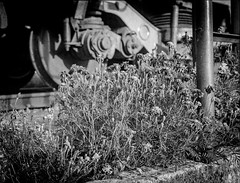 Flowers (& Train) (DomiKetu) Tags: flowers blackandwhite bw black 120 film monochrome analog train mono blackwhite 645 fuji kodak steel trix wheels romania mf rodinal expired 6x45 sibiu selfdeveloped gs645 mediuformat homemadesoup parodinal blackwhitephotos