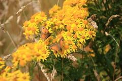 Papillons (philippe.ducloux) Tags: flowers france flower nature fleur fleurs canon butterfly brittany bretagne papillon finistre le batz ledebatz 450d canon450d strictlygeotagged natureonly