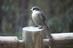 _MG_0297 (michaelawalzthoni) Tags: nature greyjay