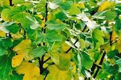 Leaves (brightondj) Tags: 1990s leaves colour pentaxmesuper scan scanned