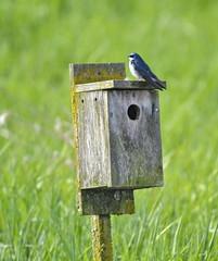 Tree Swallow (glenbodie) Tags: glen bodie glenbodie dncb serpentine 201417 tree swallow