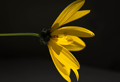Rudbeckia caught in the light (cathbooton) Tags: blackbackground flower canon6d canoneos canonusers rudbeckia yellow nature light canon minimalism